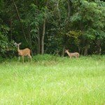 whitetail_doe_and_fawns.jpg