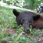 Photo of Radio-Collared Bears Photos