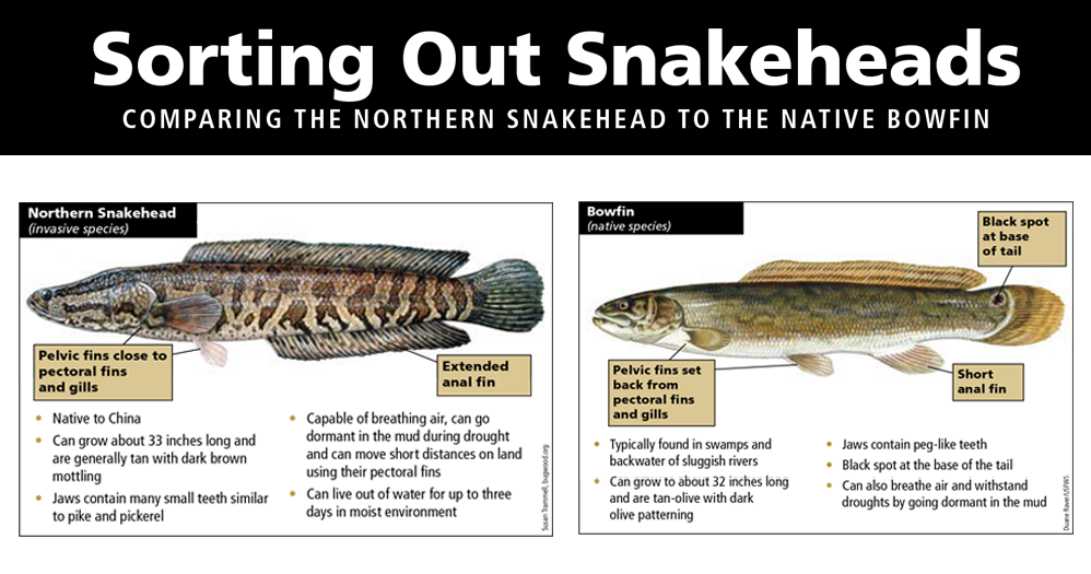 11 frequently asked questions about northern snakeheads for Arkansas fishing license cost