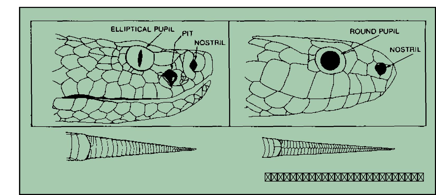 MDWFP - Venomous Snakes of Mississippi
