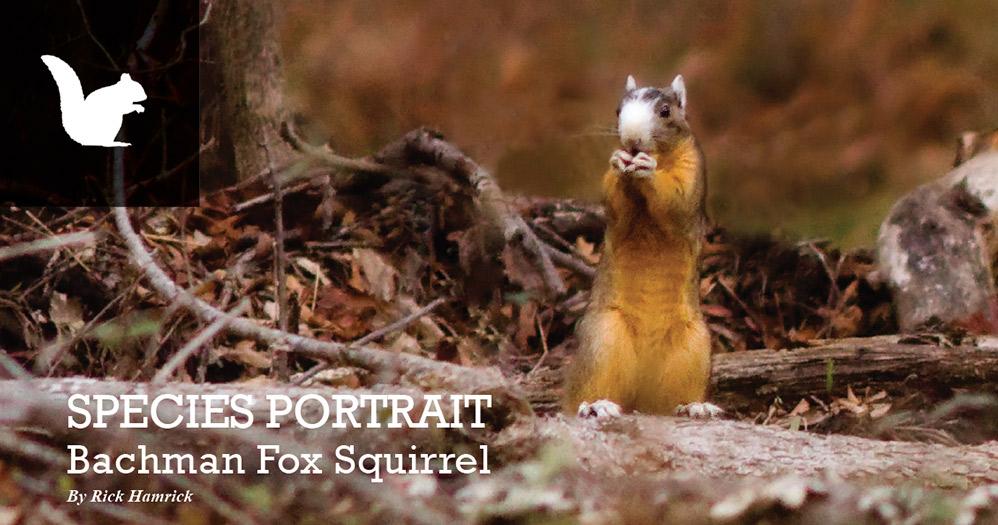 mdwfp species portrait bachman fox squirrel