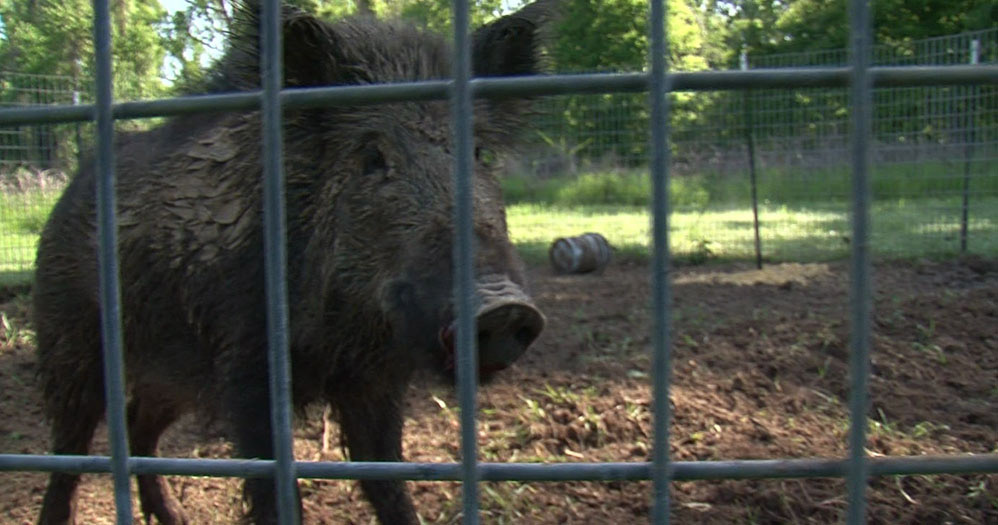 mdwfp requires hog traps to be permitted