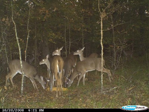 LactationWhitetailDeer2
